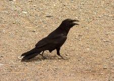 寻找食物的乌鸦在一片干燥沙漠在美国 免版税库存照片