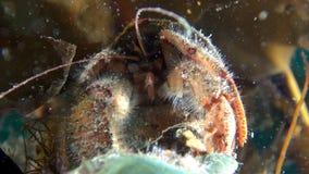 寻找食物的巨蟹星座隐士水下在巴伦支海 股票录像