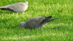 寻找食物的抓住衣领口的鸠鸟在公园 股票视频