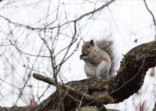 寻找食物的灰鼠在早期的春天 库存照片