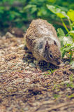 寻找食物的灰鼠在森林里 库存照片
