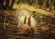 寻找食物的灰鼠在秋天森林里 免版税库存图片