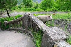 寻找食物的猪在奇阿图拉一个被放弃的区  图库摄影