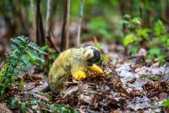 寻找食物的玻利维亚的doodshoofdaap 免版税库存图片