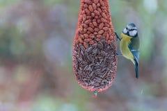 寻找食物的蓝冠山雀在冬天期间 免版税库存照片