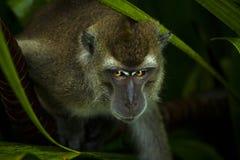 寻找食物的野生短尾猿猴子 免版税图库摄影