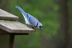 寻找食物-温莎,安大略加拿大- Ojibway自然保护- 2017-05-20的蓝色尖嘴鸟 免版税图库摄影