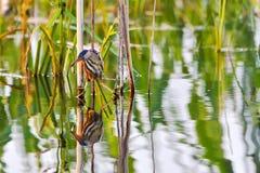 寻找鱼, waterbirds,稀有人物,与长的额嘴的一只鸟的Ixobrychus minutus 库存图片