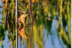 寻找鱼, waterbirds,稀有人物,与长的额嘴的一只鸟的Ixobrychus minutus 免版税库存照片