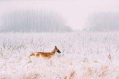 寻找Sighthound Russkaya Psovaya Borzaya狗的俄国猎狼犬 免版税图库摄影
