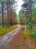 导致杉木森林的道路 免版税图库摄影
