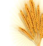 导航与一捆的背景金黄麦子耳朵 免版税库存图片