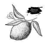 导航与花和叶子的手拉的柠檬或石灰果子在增殖比 库存例证