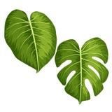 导航在白色背景隔绝的热带Monstera植物大绿色叶子  皇族释放例证