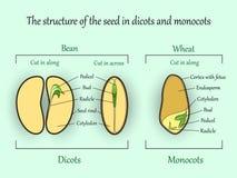 导航教育植物学横幅、结构monocot和dicot植物种子在被削减的部分 农业生物科学例证 向量例证