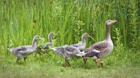 导致母亲的鹅幼鹅通配 免版税库存照片