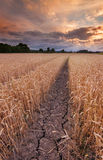 导致破裂的泥的天旱在麦田 图库摄影