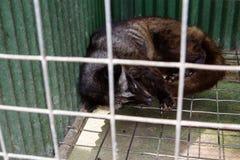 导致Kopi luwak 免版税库存照片