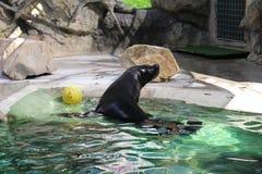 封印在动物园Librec里 免版税库存图片