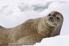 封印在南极洲 免版税库存照片