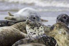 封印在狂放的灰色海狮群 图库摄影