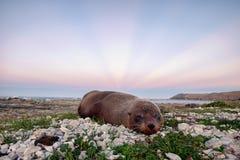封印海洋野生生物在Kaikoura,新西兰 免版税图库摄影