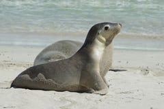 封印海湾,袋鼠海岛,南澳大利亚 免版税库存照片