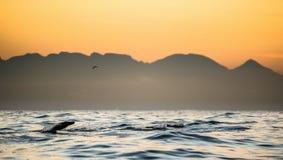 封印游泳和跳出水在日落 免版税库存图片