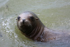 封印游泳在绿色水中 库存图片
