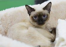 封印点猫湄公河短尾的短发的颜色 免版税库存图片