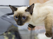 封印点猫湄公河短尾的短发的颜色 库存照片