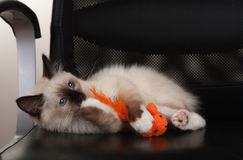 封印点Birman猫, 4个月大小猫,男性 免版税图库摄影