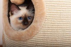 封印点Birman猫, 4个月大小猫,男性 库存照片