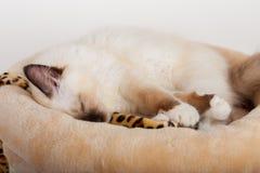 封印点Birman猫, 4个月大小猫,男性 库存图片