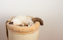 封印点Birman猫, 4个月大小猫,男性 免版税库存照片