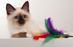 封印点Birman猫, 4个月大小猫,男性 图库摄影