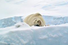 封印的一张逗人喜爱的图片在雪的在南极洲 免版税库存照片