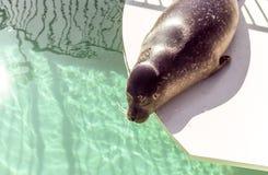 封印采取太阳在魁北克水族馆 免版税库存图片