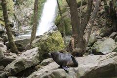 封印饲养在森林新西兰里 免版税库存图片