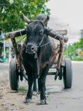 封牛公牛被栓对推车 库存图片