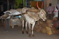封牛在印度的迈索尔 免版税库存照片