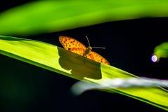 射击在一片长的叶子的一只蝴蝶有绿色背景 库存图片