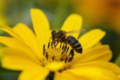 射击在花的一只昆虫 库存图片