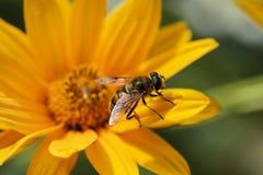 射击在花的一只昆虫 免版税图库摄影