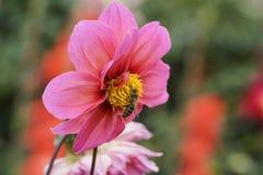 射击在花的一只昆虫 免版税库存照片