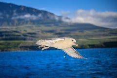 射击在蓝色海洋的一只飞行海鸥 免版税库存照片