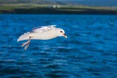 射击在蓝色海洋的一只飞行海鸥 免版税库存图片