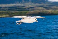 射击在蓝色海洋的一只飞行海鸥 图库摄影