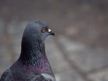 射击的关闭在岩石的后部潜水鸽子鸟焦点 库存图片
