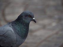 射击的关闭在岩石鸠鸽子鸟一边看 库存图片